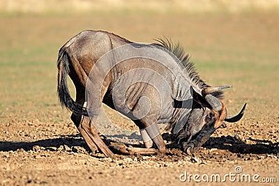 Blue wildebeest playing
