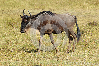 Blue wildebeest walking