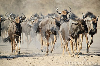 Blue Wildebeest - Wildlife from Africa - Stampede of Hoof and Dust