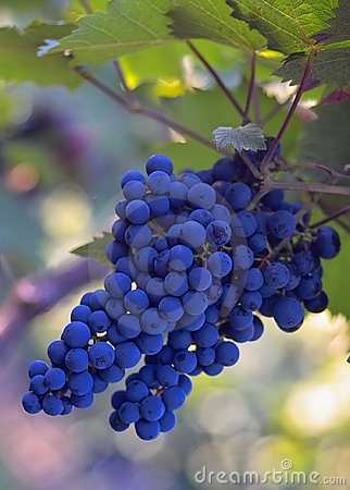 Blue wine grapes