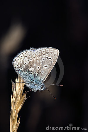 Free Blue Wing Sitting On Straw. Stock Image - 10669871