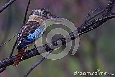 Blue-winged kookaburra, Kakadu National Park