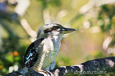 Blue-winged kookaburra in a tree