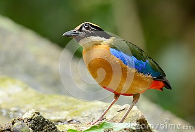 Blue-winged Pitta Stock Photo