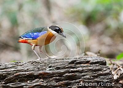 Blue winged pitta