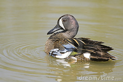 A Blue-winged Teal preening