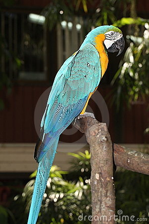 A Blue-and-Yellow Macaw