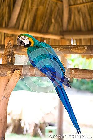 Blue and yellow macaw ara ararauna