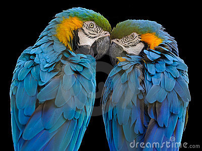 Blue-and-yellow Macaw (Ara ararauna)