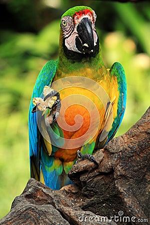 Blue-and-yellow macaw [Ara ararauna]