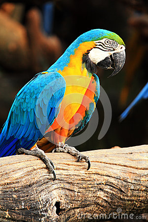 Blue-and-yellow macaw [Ara ararauna]