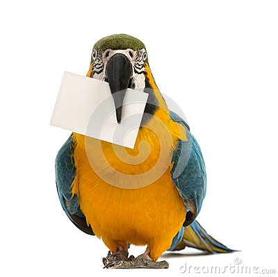 Blue-and-yellow Macaw, Ara ararauna, 30 years old, holding a white card in its beak