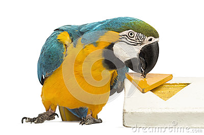 Blue-and-yellow Macaw, Ara ararauna, 30 years old, playing with a puzzle