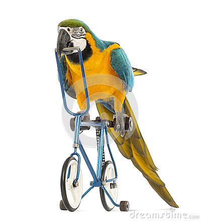 Blue-and-yellow Macaw, Ara ararauna, 30 years old, riding a blue bicycle