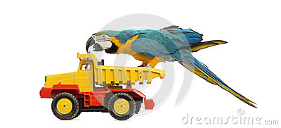 Blue-and-yellow Macaw, Ara ararauna, 30 years old, riding a truck, lorry