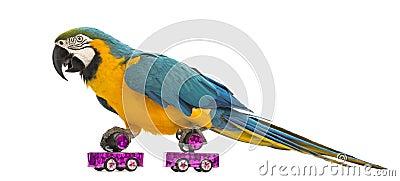 Blue-and-yellow Macaw, Ara ararauna, 30 years old, roller skating
