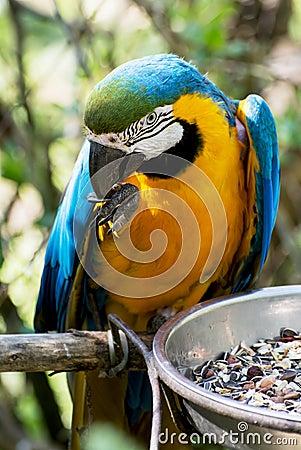Blue-and-yellow Macaw (Ara ararauna) Stock Photo