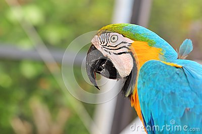 Blue-and-Yellow Macaw Bird