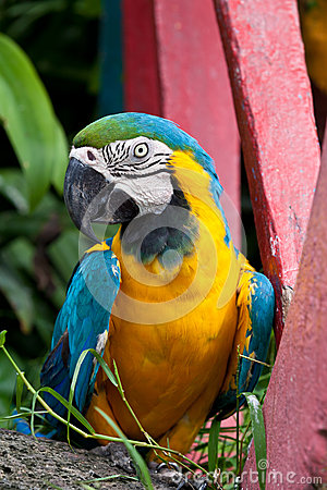 The Blue-and-yellow Macaw bird.