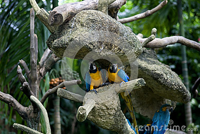 Blue-and-yellow macaw, Singapore