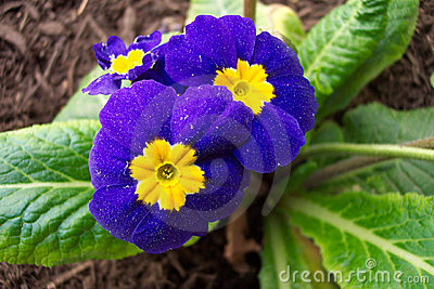 Blue and yellow promrose