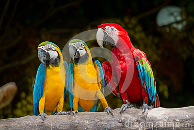 Blue-and-Yellow-Red Macaw