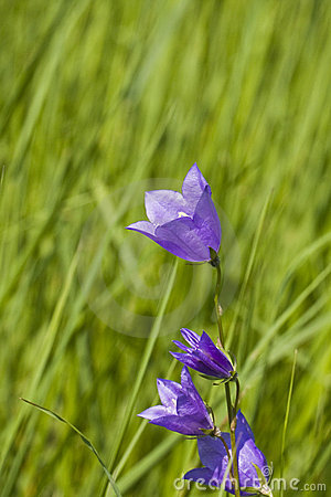 Bluebell flower in green grass