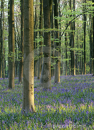 Bluebell forest (Hyacinthoides non-scripta)