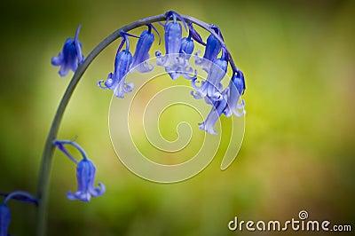 Bluebell Spring flower against green background