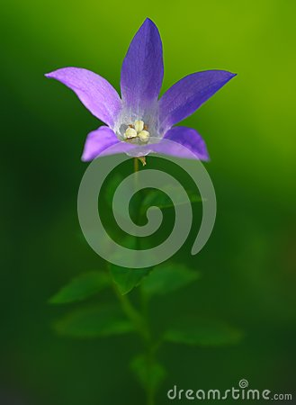 Bluebell su priorità bassa verde
