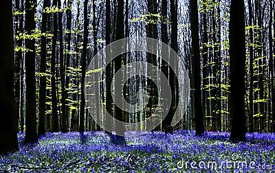 Bluebell symphony