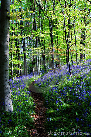 Free Bluebell Wood Stock Images - 10462694