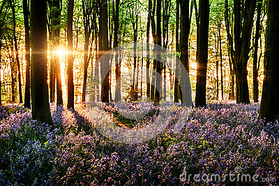 Bluebells blooming in the forest
