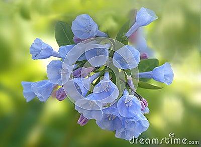 Bluebells de Virginie