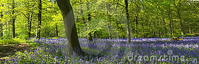 Bluebells In The Forest