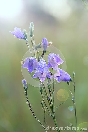 Free Bluebells In Drops Of Water After Rain. Flowers Of Campanula. Wildflowers During Rain Stock Photo - 127827930