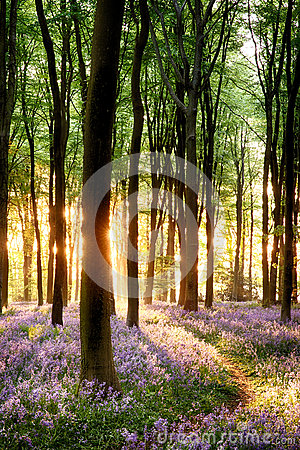 Free Bluebells In Sunrise Light Royalty Free Stock Photos - 31970108
