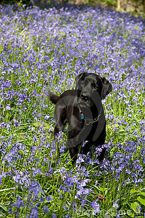 Bluebells and Labrador