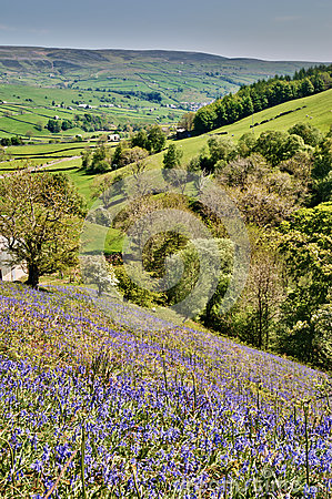 Bluebells on a sunny hillside
