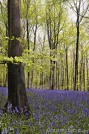 Bluebells wood