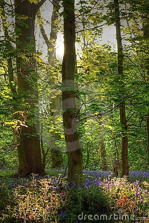 Bluebells in a wood in hdr