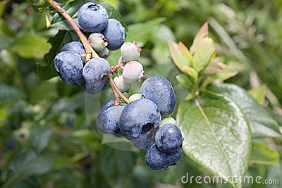 Blueberries on the brunch
