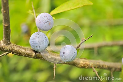 Blueberries Growing on Shrub
