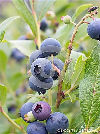 Free Blueberry Royalty Free Stock Photos - 6947968