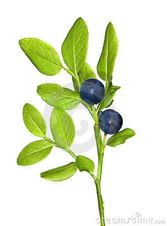 Blueberry branch isolated on white