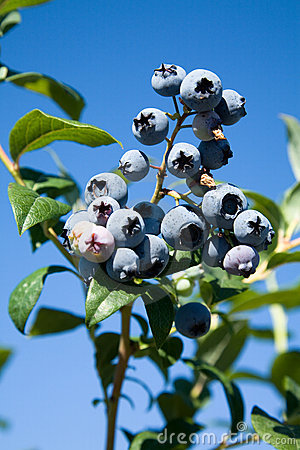 Free Blueberry Tree Stock Photo - 6014880