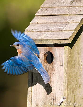 Free Bluebird Leaving The Birdhouse Royalty Free Stock Photography - 9430657