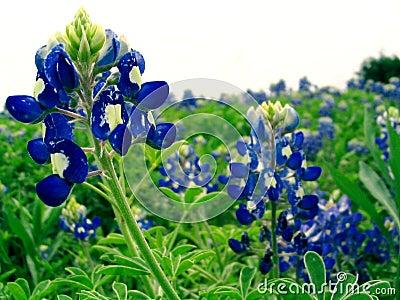 Bluebonnet Stock Photo