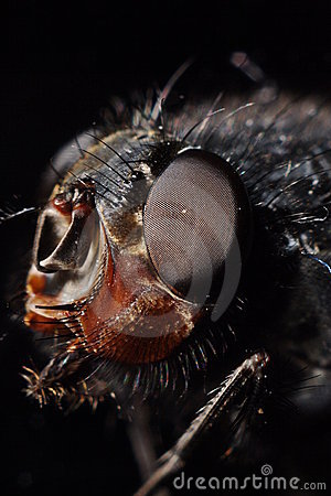 Bluebottle house fly