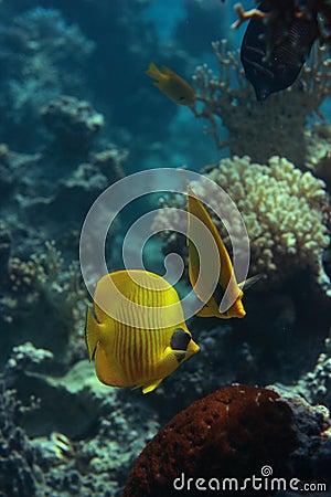 Bluecheek butterlfyfish